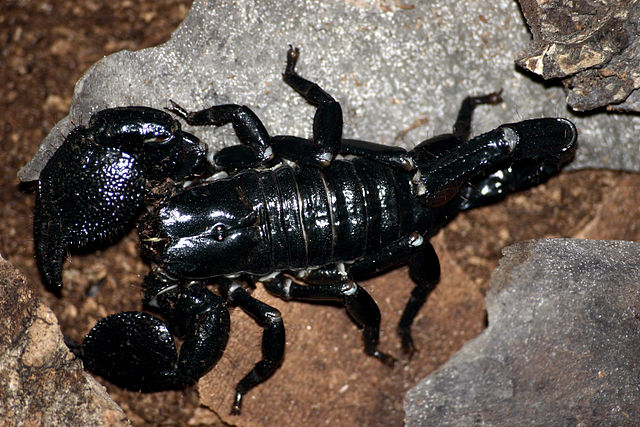 ESCORPIONPEDIA » Escorpiones. Enciclopedia Experta